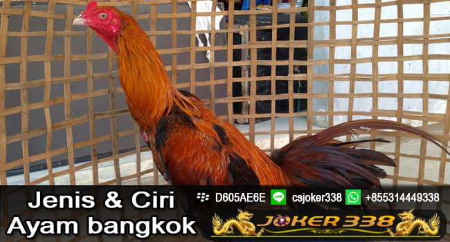 9 Ciri Ayam Bangkok yang Kuat