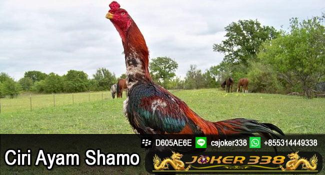 Ciri Ayam Shamo