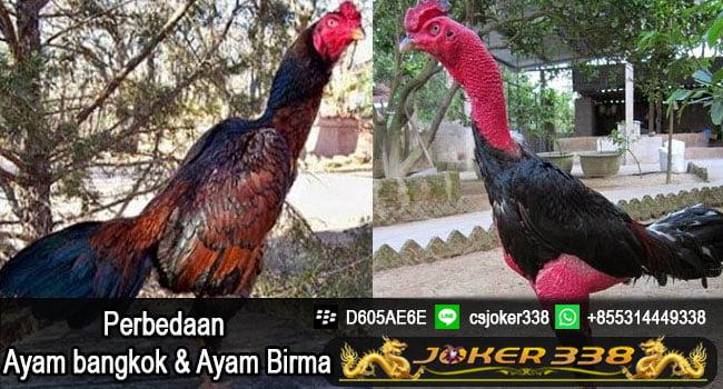 Perbedaan Ayam Bangkok dan Birma